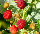 Buy Online Boyne Red Raspberry Fruit Plants For Your Home & Garden