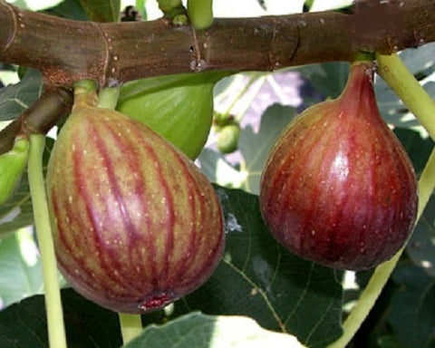 Fig Tree,  Brown Turkey
