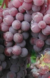 Buy Online Canadice Grape Fruit Vine For Your Home And Garden.