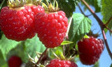 Buy Online Kokanee Red Raspberry Fruit Plants For Your Home & Garden