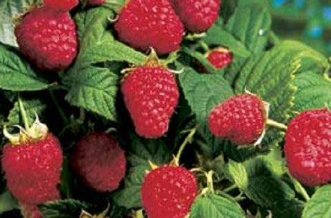 Meeker Red Raspberry,       Box Of 3