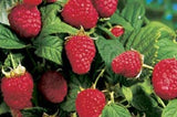 Canby Red Raspberry