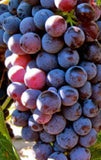 Catawba Red Grape