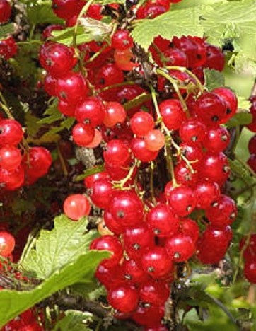 Buy Online Cherry Red Currant Fruit For Your Home And Garden