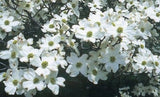 Buy Online Cornus florida, Pink Flowering Dogwood For Your Garden.