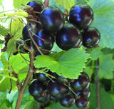 Buy Online Crandell Black Currant Fruit For Your Home And Garden.