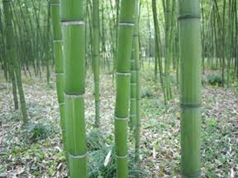 Buy Online Dulcis Sweet Shoot Bamboo Plant For Your Home and Garden.