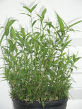 Pleioblastus Distichus Dwarf Fern Leaf Bamboo Plant For Your Garden