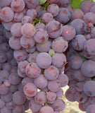 Einset Red Seedless Grape