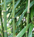 Buy Online Fargesia Robusta Wolong Clump Bamboo Plant For Your Garden.
