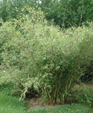 Buy Online Borinda Utilis Clumping Bamboo Plant For Your Home & Garden