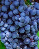Buy Online Glenora Grape Fruit Vine For Your Home And Garden.