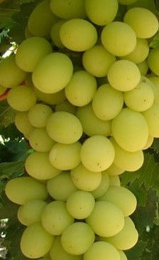 Buy Online Golden Muscat Grape Fruit Vine For Your Home And Garden.