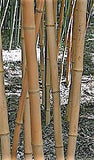 Buy Online Phyllostachys Aurea Holochrysa Bamboo For Your Garden & Hom.