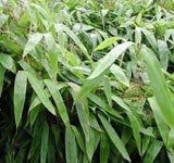 Buy Online Indocalamus Bamboo Plant For Your Home Or Garden.