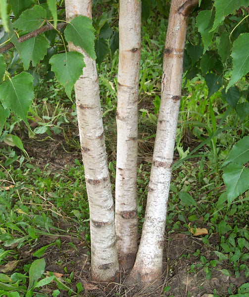 Betula Platyphylla, Japanese White Paper Birch Tree