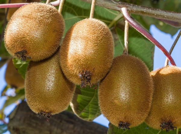 Actinidia chinensis 'Vincent', Female Kiwi