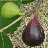 LSU Purple Fig