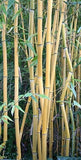 Buy Online Phyllostachys 'Lama Temple' Bamboo Plant For Your Garden.