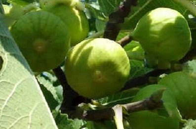 Buy Online Lattarulla Fruiting Fig Tree Plant For Your Home and Garden
