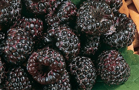 Buy Online Munger Black Raspberry Fruit Plants For Your Home & Garden