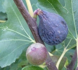 Buy Online Negronne Fig Fruit Tree For Your Home And Garden.