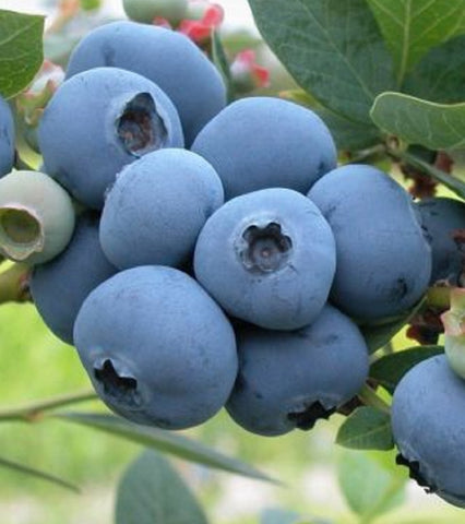 Biloxi Blueberry, Box of 3