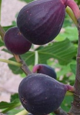 Buy Online Petite Negra Fig Tree Easy To Care For With Purple Fruit.
