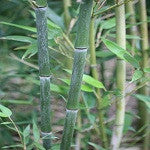 Phyllostachys Humilis Bamboo Plant For Your Home And Garden