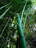 Buy Online Phyllostachys Vivax 'Huangwenzhu' Bamboo Plants