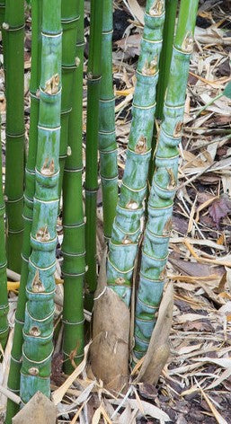 Buy Online Phyllostachys Aurea Golden Bamboo Plant For Your Garden.