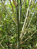 Buy Online Phyllostachys Bissetii Bamboo Plants For Your Home & Garden