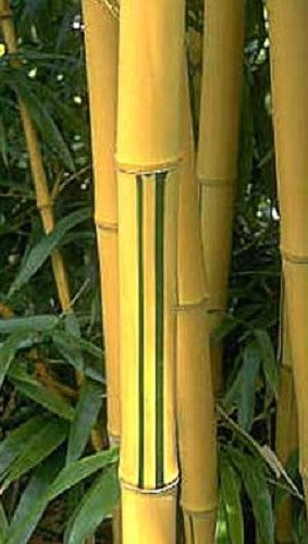 Buy Online Phyllostachys Vivax Golden Bamboo Plant For Your Garden.