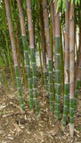Buy Online Phyllostachys Atrovaginata Bamboo Plants For Your Garden