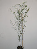 Phyllostachys Heteroclada Water Bamboo Plant For Your Garden