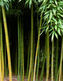 Buy Online Phyllostachys Kwangsiensis Bamboo Plant For Your Garden.