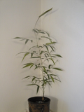 Phyllostachys Nigra Black Bamboo Plant For Your Garden