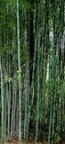 Buy Online Phyllostachys Nuda Nude Sheath Bamboo Plant For Your Garden