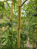 Buy Online Phyllostachys Vivax Huangwenzhu Inversa Bamboo Plants