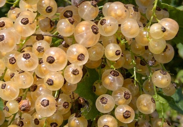 Buy Online Primus White Currant Fruit For Your Home And Garden.