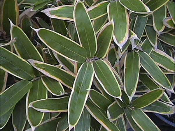 Sasa Veitchii Bamboo Plant For your Home and Garden