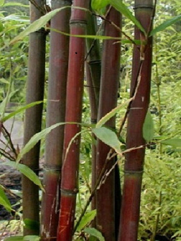 Semiarundinaria Fatuosa Temple Bamboo For Your Garden