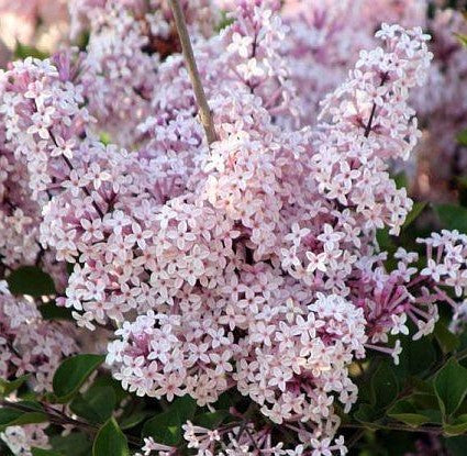 Buy Online Syringa oblata Early Lilac Flowering Shrub For Your Garden.