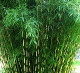 Bambusa metake Korean/Japanese arrow bamboo plant hardy hedge/screen to 0f .