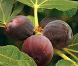 Buy OnlineTexas Everbearing Fruiting Fig Tree Plant For Your Garden.