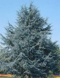 The Atlas Cedar tree  is an evergreen conifer that grows in a pyramidal shape.