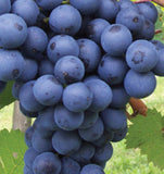 Buy Online Bath Black Grape Plant For Your Home and Garden.
