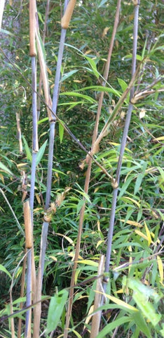 Buy Online Borinda Macclureana Clumping Bamboo Plant For Your Garden.