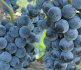 Buy online Concord Grape vine plants easy to grow and care for fruit.