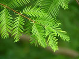 Metasequoia glyptostroboides, Dawn Redwood